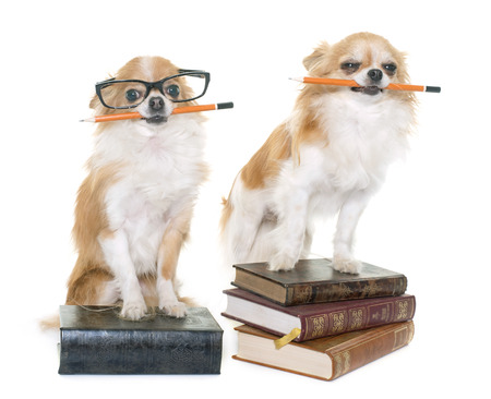 long hair chihuahua: purebred chihuahua in school in front of white background