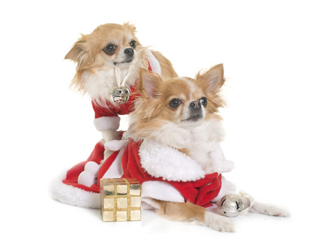 long hair chihuahua: sant claus chihuahuas in front of white background Stock Photo