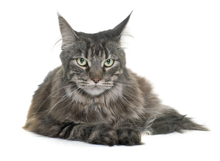 white cats: maine coon in front of white background