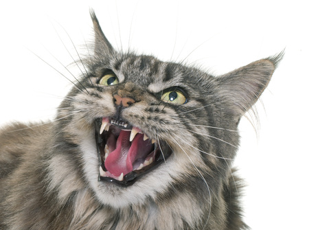 maine coon: angry maine coon in front of white background Stock Photo