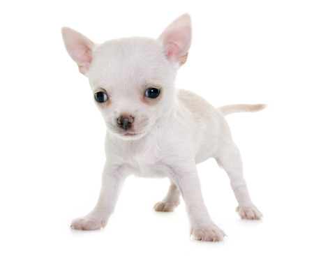 animal hair: puppy chihuahua in front of white background