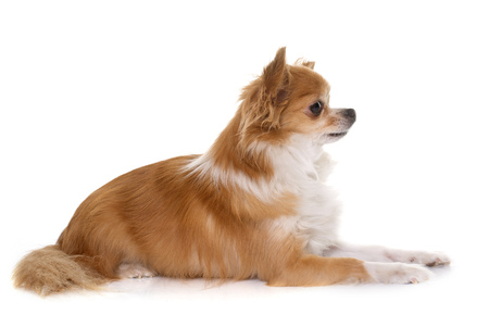 animal hair: purebred chihuahua in front of white background Stock Photo
