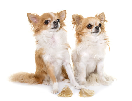 recompense: purebred chihuahua and treats in front of white background