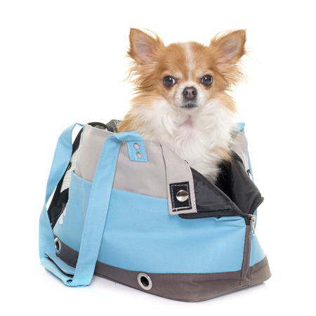 long hair chihuahua: chihuahua and travel bag in front of white background Stock Photo
