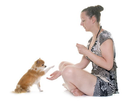 complicity: purebred chihuahua and woman in front of white background