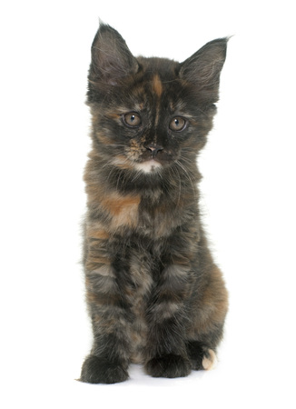 maine coon kitten in front iof white background Stock Photo
