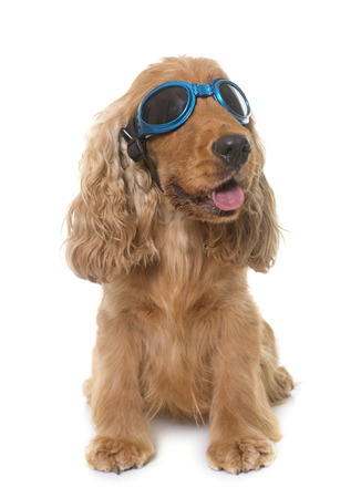 cocker spaniel with glasses in front of white background Stock Photo