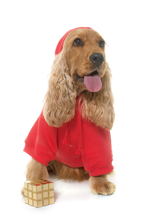 hunting cocker spaniel: dressed cocker spaniel in front of white background Stock Photo