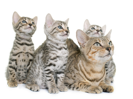 bengal kitten and mother in front of white background