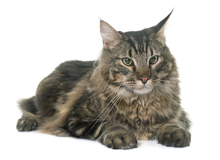 white cats: maine coon cat in front iof white background