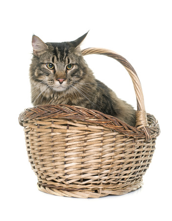 maine cat: maine coon cat in front iof white background