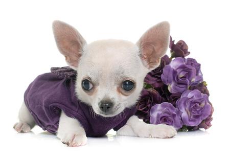 perros vestidos: Chihuahua joven vestida en frente de fondo blanco