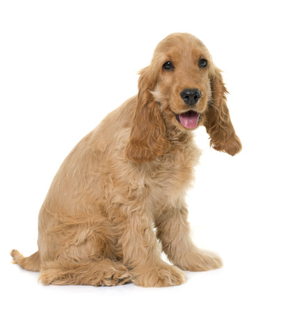 hunting cocker spaniel: puppy cocker spaniel in front of white background