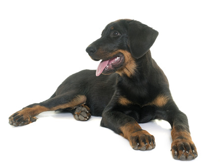 sheepdogs: puppy beauceron in front of white background