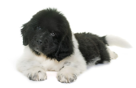 newfoundland: puppy newfoundland dog in front of white background