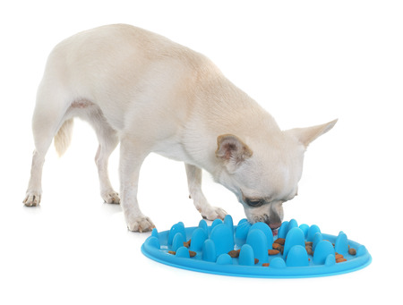 white dog: dog accessory for eating and chihuahua in front of white background Stock Photo
