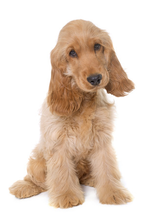 pedigreed: puppy cocker spaniel in front of white background