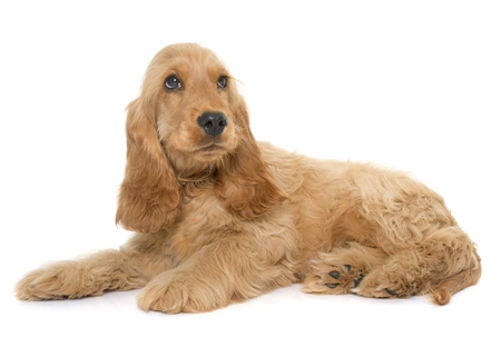 english cocker spaniel: puppy cocker spaniel in front of white background