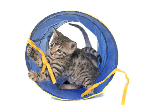 white cats: bengal kitten in tunnel in front of white background
