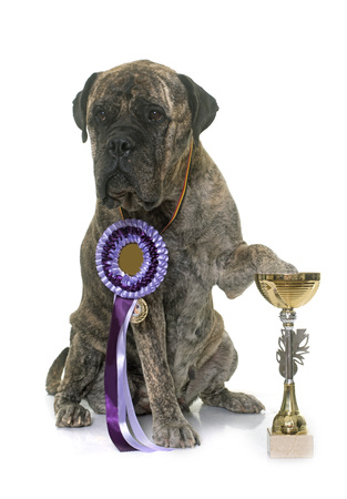 recompense: bull mastiff and cup in front of white background Stock Photo