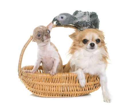 baby gray parrot and chihuahua in front of white background