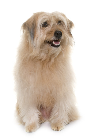 white dog: pyrenean shepherd in front of white background