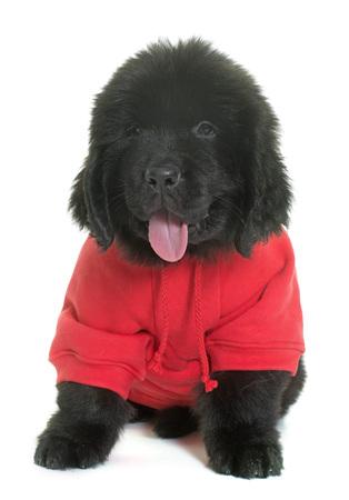 newfoundland dog: dressed puppy newfoundland dog in front of white background Stock Photo