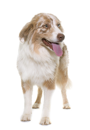 australian shepherd: australian shepherd in front of white background Stock Photo