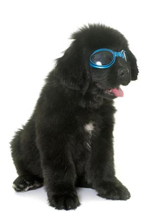 newfoundland dog: puppy newfoundland dog and glasses in front of white background