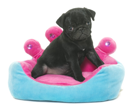 carlin: puppy black pug in front of white background Stock Photo