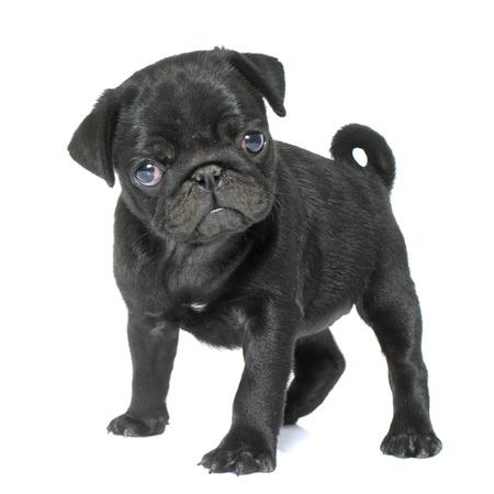cachorro de pug negro delante de fondo blanco