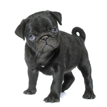 puppy black pug in front of white background Banque d'images