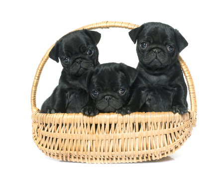 carlin: puppies black pug in front of white background Stock Photo