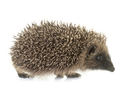 hedgehog: baby hedgehog in front of white background