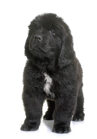newfoundland dog: puppy newfoundland dog in front of white background