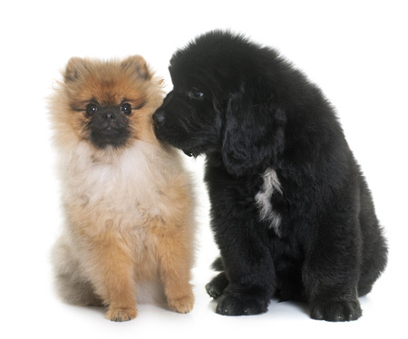 newfoundland dog: puppy newfoundland dog and spitz in front of white background