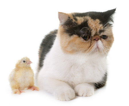 pet cat: tricolor exotic shorthair cat and chick in front of white background