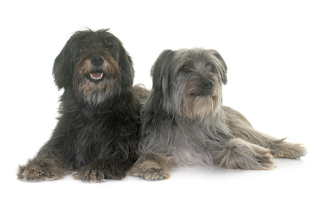 pyrenean: pyrenean shepherds in front of white background Stock Photo