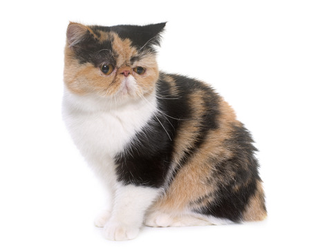tricolor: tricolor exotic shorthair cat in front of white background