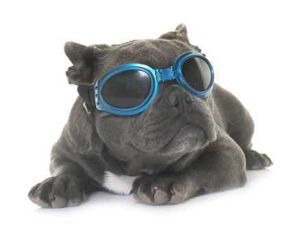 bulldog francés cachorro delante de fondo blanco Foto de archivo