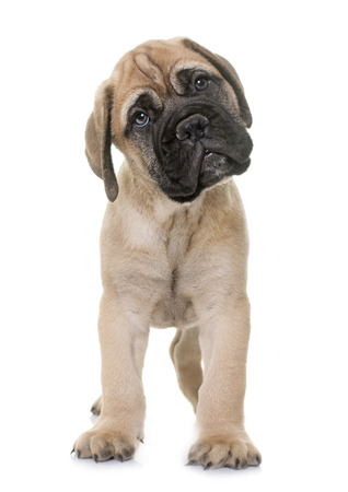 dog isolated: puppy bull mastiff in front of white background Stock Photo