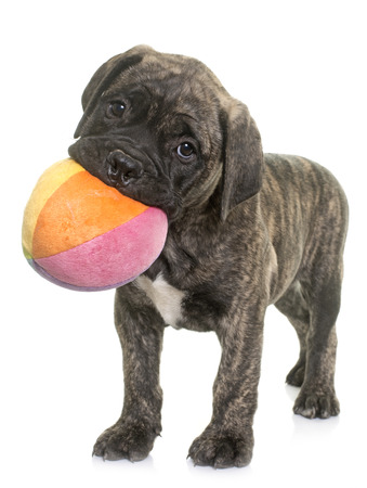dog isolated: puppy bull mastiff playing in front of white background Stock Photo