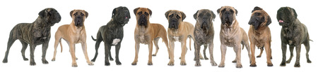 nine bull mastiffs in front of white background