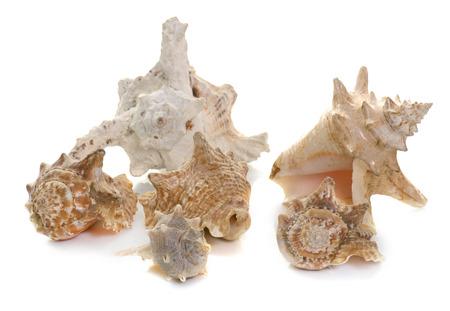 murex shell: beautiful shellfish in front of white background Stock Photo
