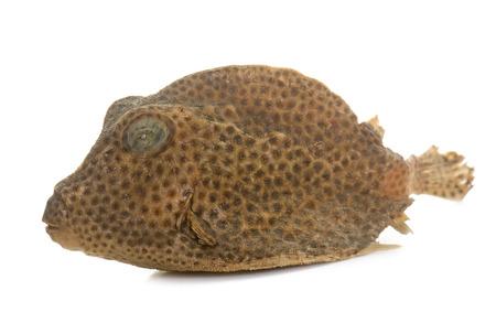 boxfish: dried boxfish in front of white background
