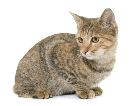white cats: tabby kitten in front of white background Stock Photo