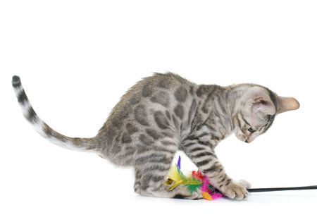 white cats: bengal kitten in front of white background