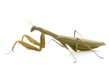 european mantis: European mantis in front of white background Stock Photo