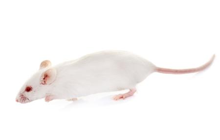 ratones: ratón blanco delante de fondo blanco