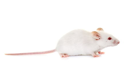 white mouse in front of white background
